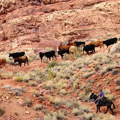 A male cattle herder is overseeing his flock grazing through the sandstone cliffs and dry vegetation of Moab, Utah.